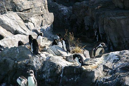 岩飛びペンギン
